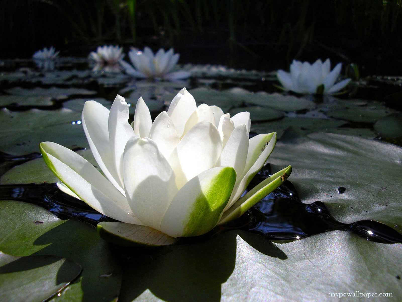 Symbolic Meaning of Lotus Flower